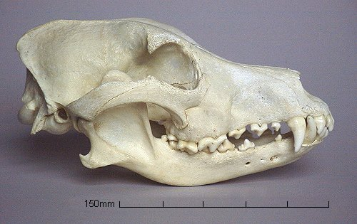 Coyote skull vs wolf skull - photo#28