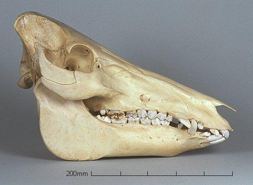 Will's Skull Page - Hybrid Pig Skull
