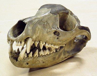 http://www.skullsite.co.uk/Thylacine/thylac_obl.jpg